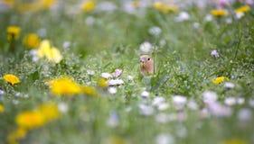 Perroquet simple de perruche dans le pré Image stock