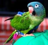 Perroquet sur l'épaule Image libre de droits