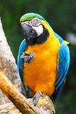 Perroquet sur la perche Photo stock