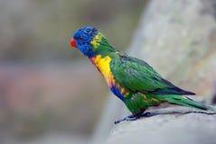 Perroquet sur la roche Image libre de droits