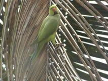 Perroquet sur une feuille sèche d'arbre de noix de coco Images stock