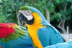 Perroquet tropical de plumes bleues, vertes et jaunes Photographie stock