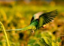 Perroquet vert image libre de droits