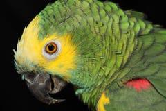 Perroquet vert Photographie stock libre de droits