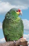 Perroquet vert Photos libres de droits