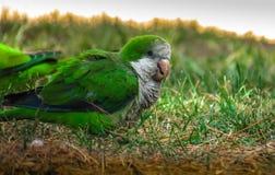 Perroquet vert Photographie stock