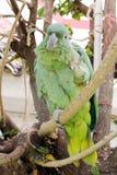 Perroquet vert Images libres de droits