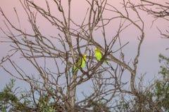 Perroquet vert d'Australie au coucher du soleil Image libre de droits