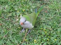 Perroquet vert dans l'herbe Perroquets sauvages de Barcelone images stock