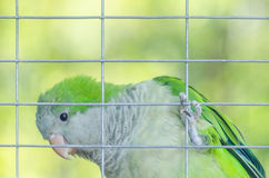 Perroquet vert dans une cage Image stock