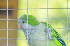 Perroquet vert dans une cage dans le zoo Image stock