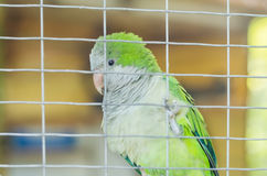 Perroquet vert dans une cage dans le zoo Images libres de droits
