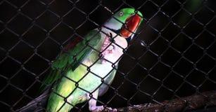 Perroquet vert derri?re la cage photographie stock libre de droits