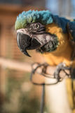 Perroquet vert jaunâtre Photographie stock