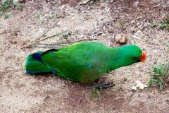 Perroquet vert marchant sur le plancher Photos libres de droits