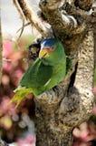 Perroquet vert, Mexique Images libres de droits