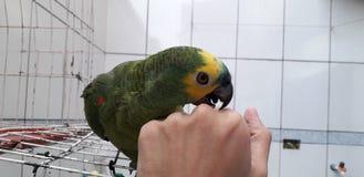 Perroquet vert mignon se reposant sur la cage semblant heureuse avec le foyer mou image stock