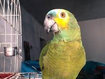 Perroquet vert mignon se reposant sur la cage semblant heureuse avec les FO molles photos libres de droits