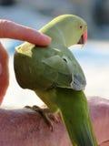 Perroquet vert sur la plage Photographie stock