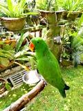Perroquet vert tropical dans le jardin Images stock
