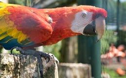 Perroquet vibrant mangeant une orange dans le zoo photographie stock