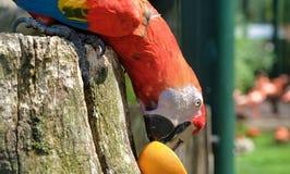 Perroquet vibrant mangeant une orange dans le zoo image stock