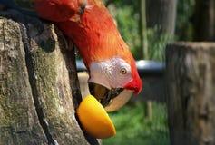 Perroquet vibrant mangeant une orange dans le zoo photo libre de droits