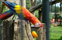 Perroquet vibrant mangeant une orange dans le zoo photographie stock libre de droits