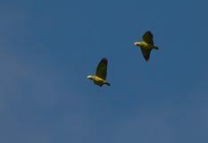 Perroquets Écallieux-naped sur le vol photographie stock libre de droits