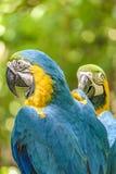 Perroquets équatoriens au zoo, Guayaquil, Equateur photos stock