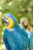 Perroquets équatoriens au zoo, Guayaquil, Equateur photos libres de droits
