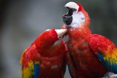 Perroquets Photographie stock libre de droits