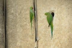 2 perroquets photo libre de droits