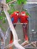 Perroquets photo stock