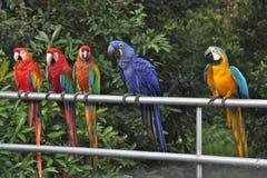 Perroquets alignés Images libres de droits