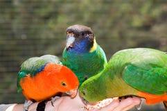 Perroquets alimentants de main Image stock