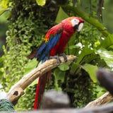 Perroquets : ara d'écarlate photos stock