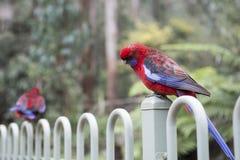 Perroquets australiens images stock