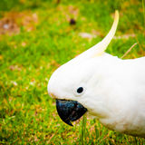 Perroquets blancs photos stock