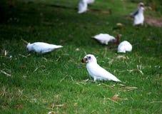 Perroquets blancs Images libres de droits