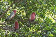 Perroquets blancs et couleur rouge se reposant sur les branches d'un arbre Images libres de droits