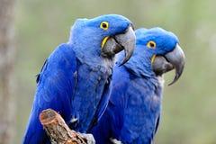 Perroquets bleus photographie stock libre de droits