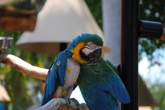 Perroquets bleus images libres de droits