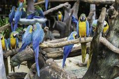 Perroquets bleus et jaunes colorés photographie stock libre de droits
