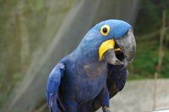 Perroquets bleus sud-américains 3 d'ara Photos stock