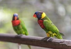 Perroquets colorés photo libre de droits