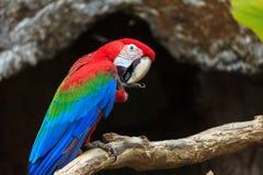 Perroquets colorés d'ara au zoo photo libre de droits