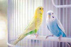Perroquets colorés dans la cage photo libre de droits