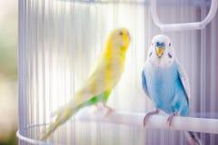 Perroquets colorés dans la cage images libres de droits
