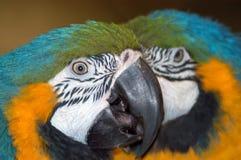 Perroquets colorés de macaw Photos libres de droits